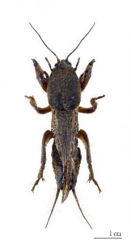 04a 300 mole_cricket