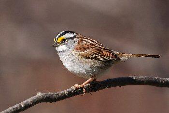 4b 350 sparrow