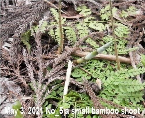 1e 600 05 20210503 a bamboo shoot