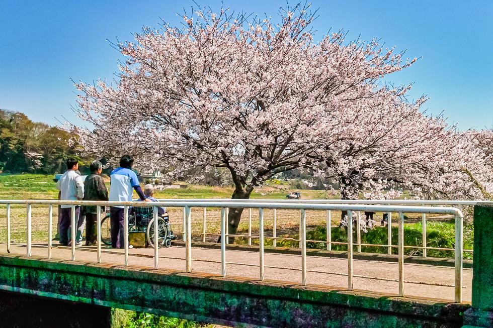 110412今井の桜-2-2