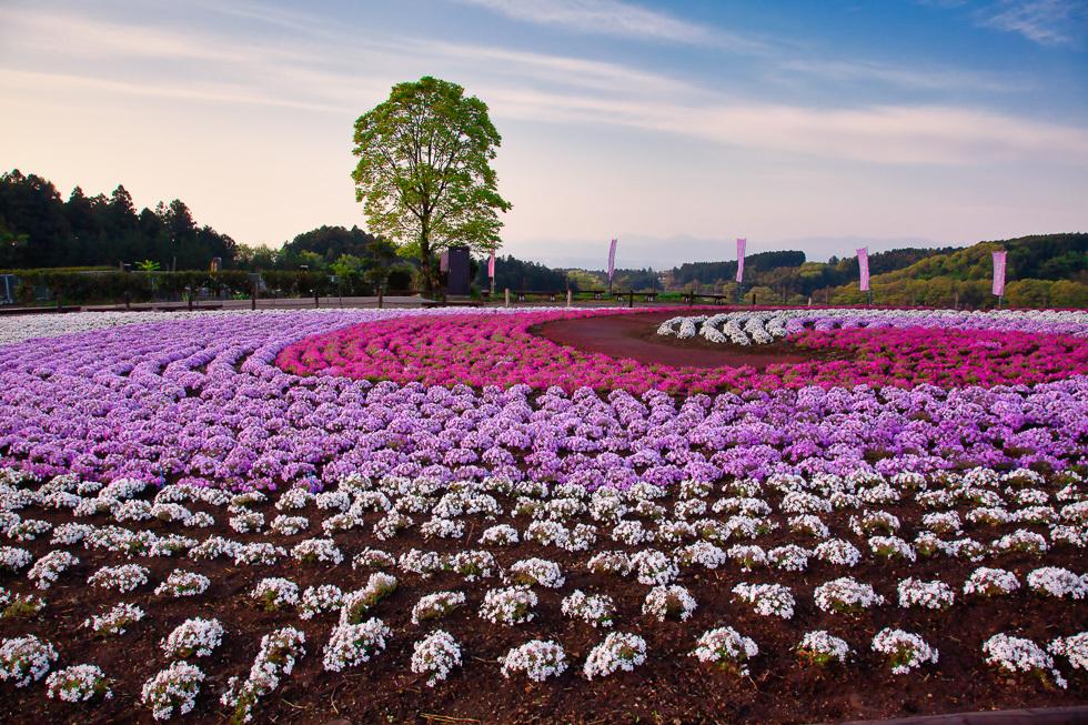 みさと芝桜公園980-