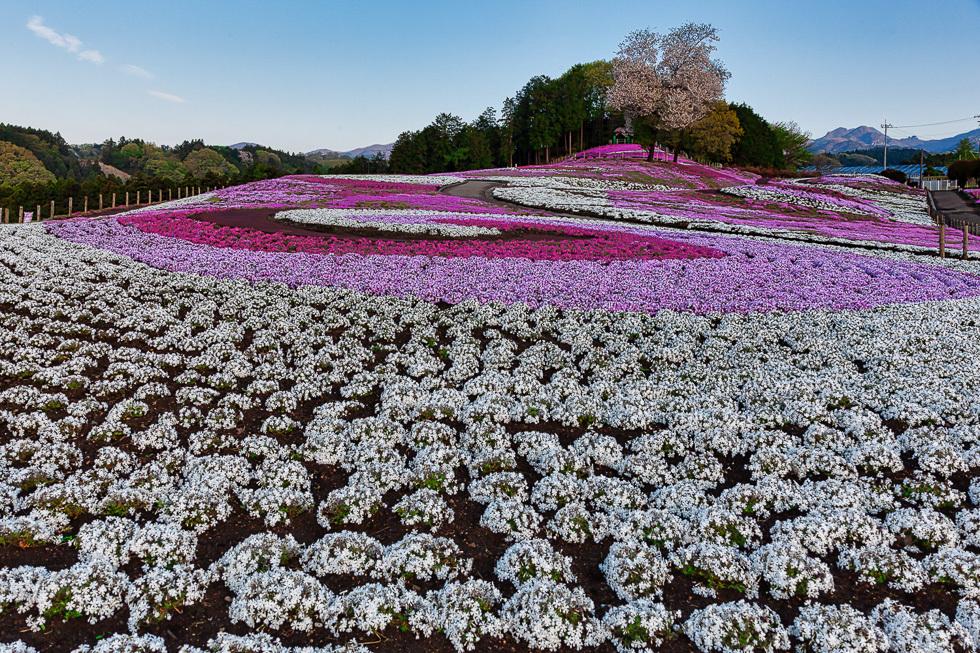 みさと芝桜公園980-2
