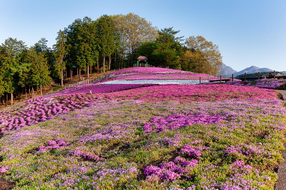 みさと芝桜公園980-3