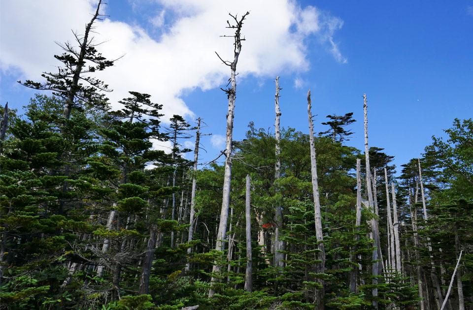 20728 1257 立ち枯れの木々 960×630