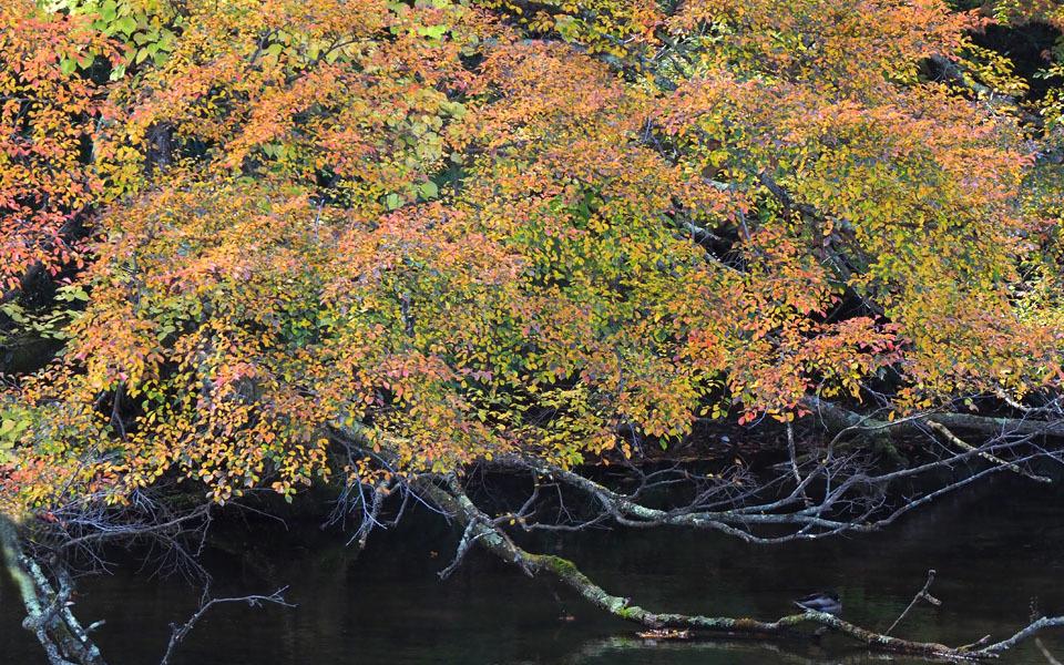 69379 紅葉と枯れ枝 960×600