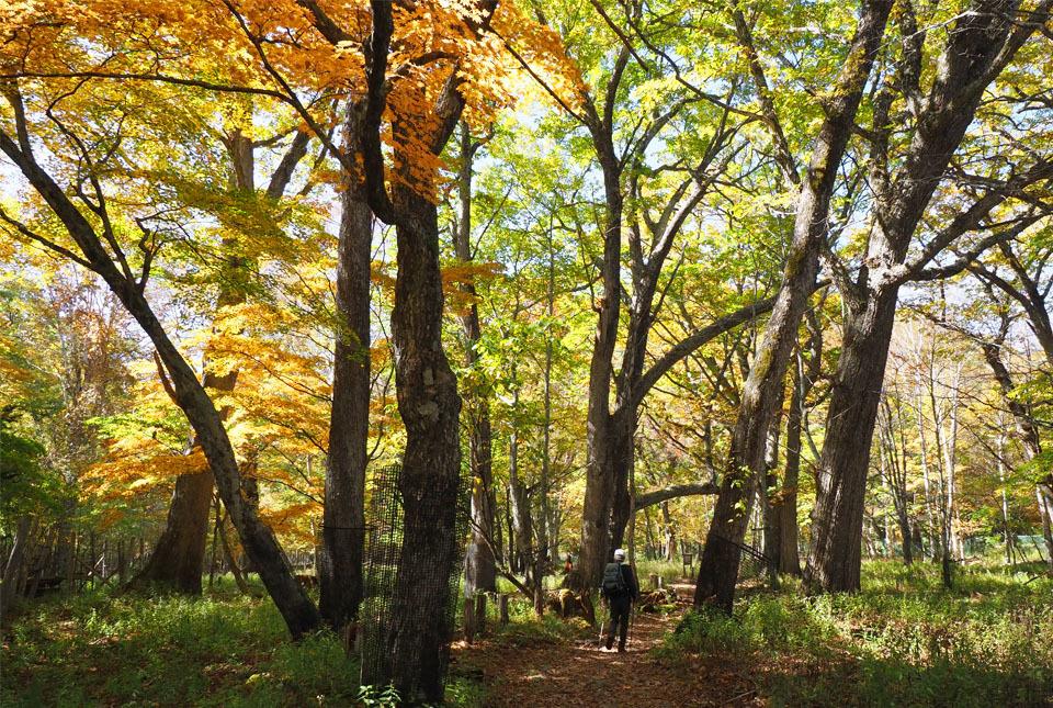 69394 紅葉の林を行く 960×645