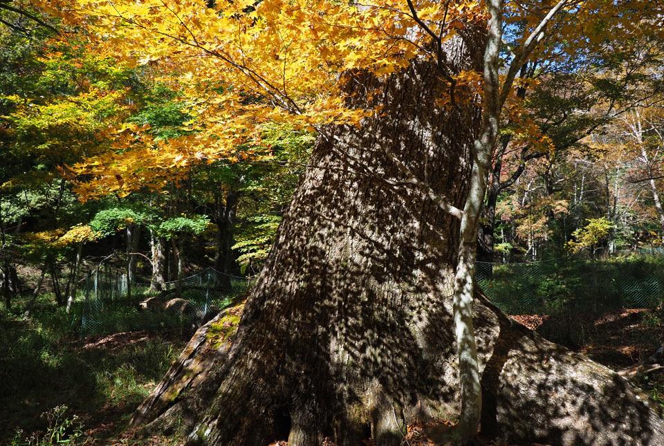 69403 巨木とカエデ 960×645