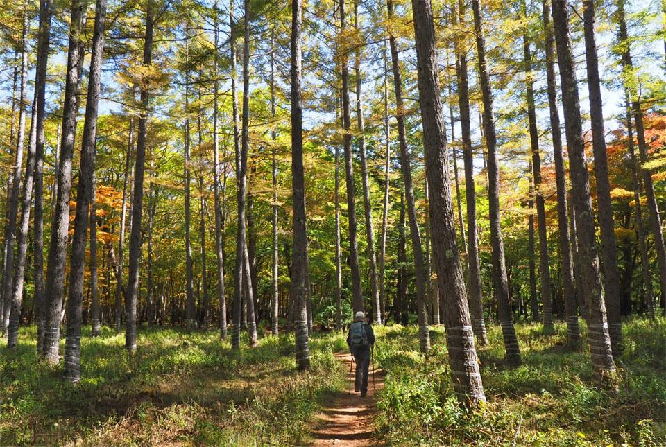 69405 カラマツ林を行く 960×645