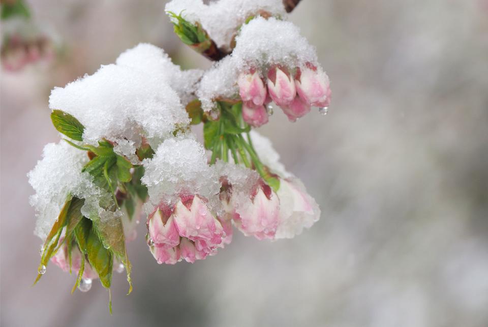 5330 名残雪と八重桜 960×645