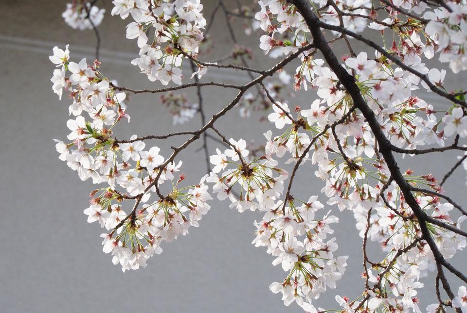 72677 桜 960×645