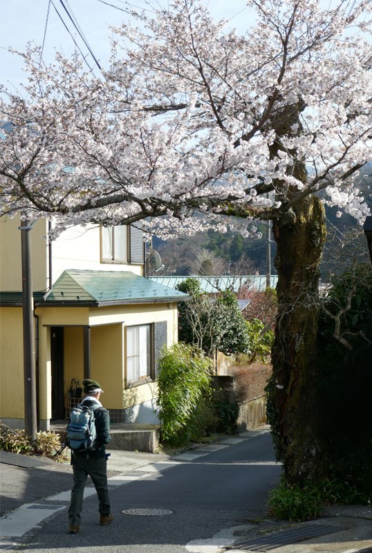 40051 麓の桜 538×800