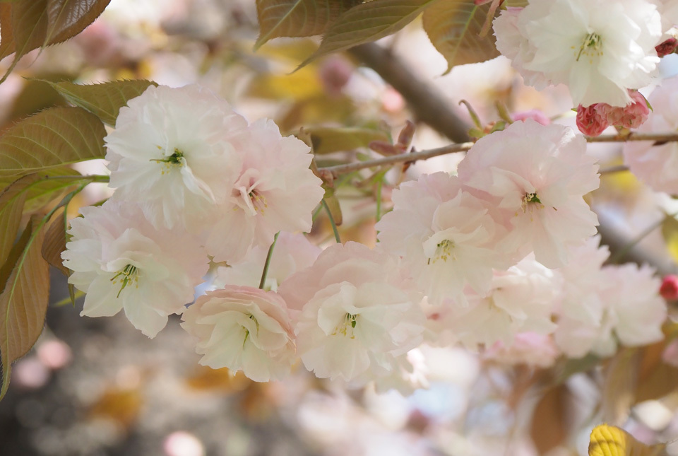 33503 八重桜2 960×645