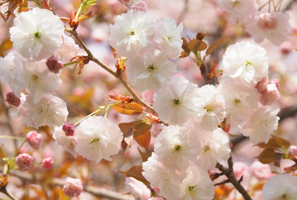 33507 八重桜2 960×645
