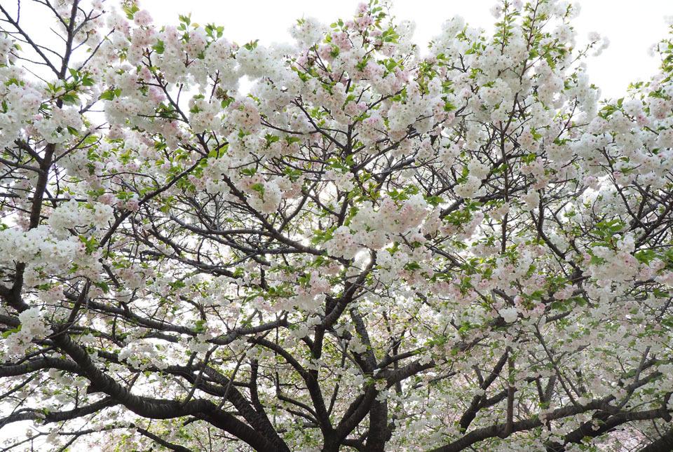 210403-33510 八重桜3 960×645