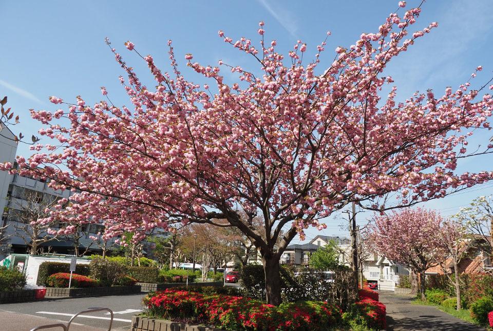 84027 八重桜4 960×645