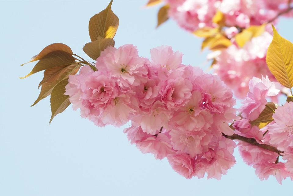 84018 八重桜4 960×645