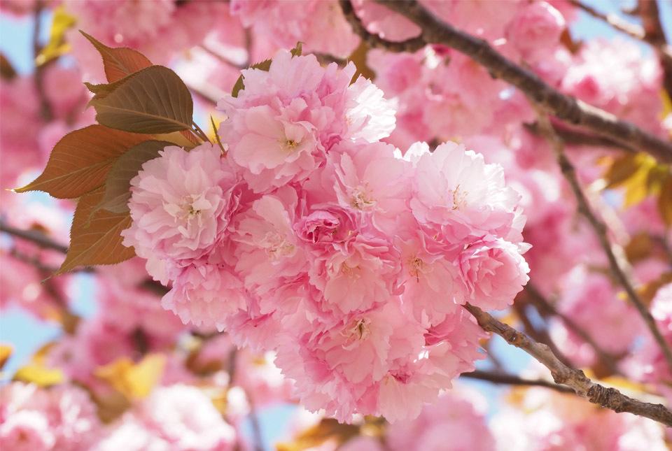 84002 八重桜4 960×645