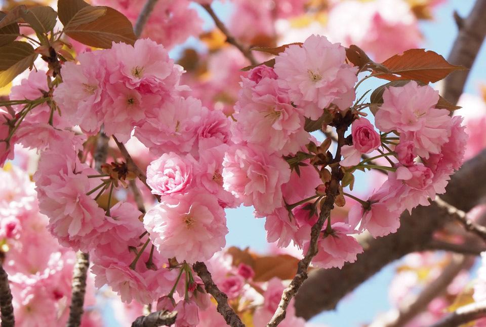 84012 八重桜4 960×645
