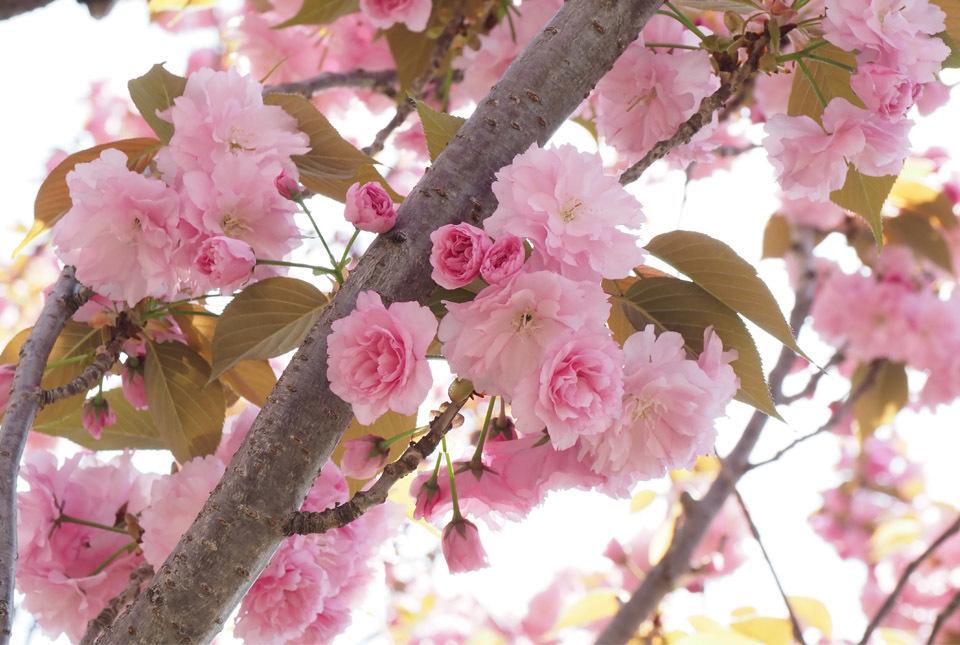 84025 八重桜4 960×645