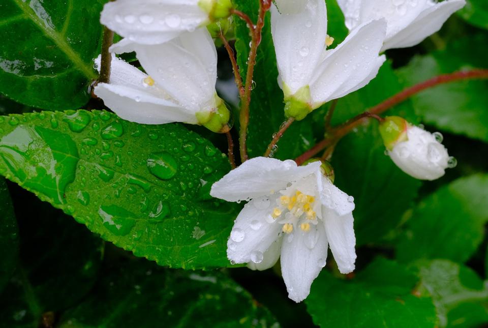 210414-1303 雨に濡れるヒメウツギ2 960×645