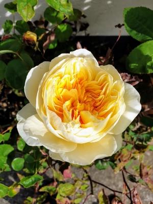 rosesathome05206