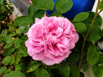 rosesathome0520