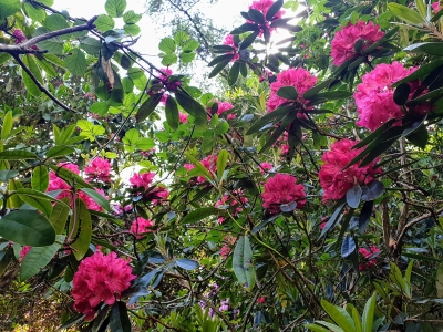 howthrhododendronjungle06201