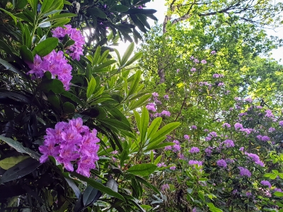 howthrhododendronjungle0620