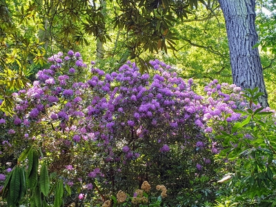 howthrhododendronjungle06206