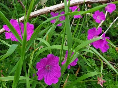 inismeainmeadowflowers0820