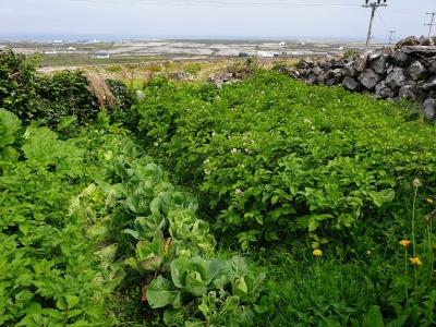inismeainpotatogrowing0820