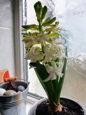 Hyacinthwhite0121