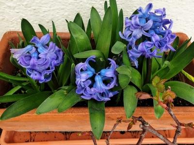 hyacinthoutdoors230221