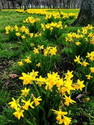 daffodileammonceantpark0321