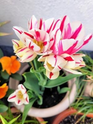 tulipflamingclub210421