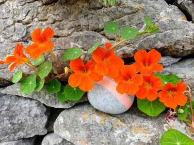 inismeainandunedibleflower08201