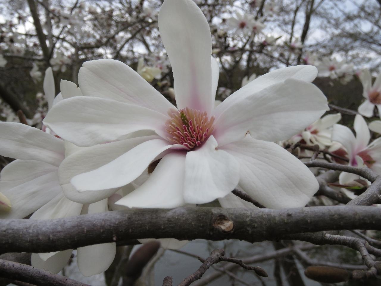 s-コブシⅡ 奈良公園210320