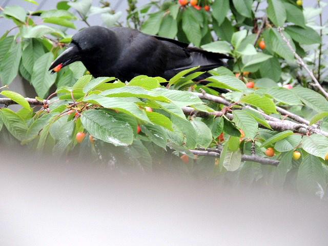 ⑪鴉とさくらんぼ
