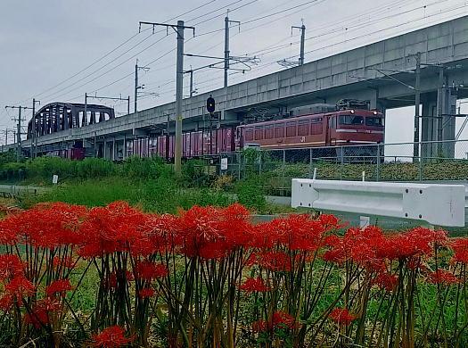 貨物列車と彼岸花