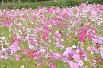 habuen-kosumosu36.jpg
