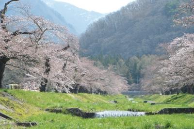 kannonji-sakura101.jpg