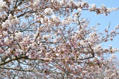kannonji-sakura102.jpg