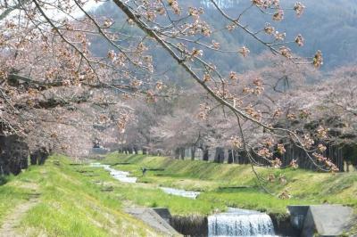 kannonji-sakura104.jpg