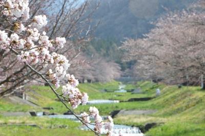 kannonji-sakura106.jpg
