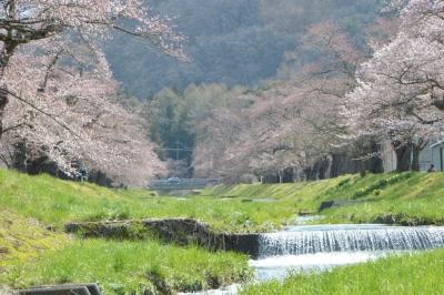kannonji-sakura107.jpg