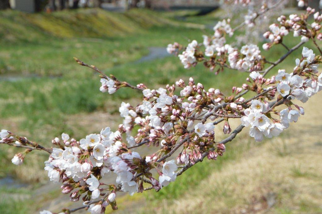 kannonji-sakura108.jpg