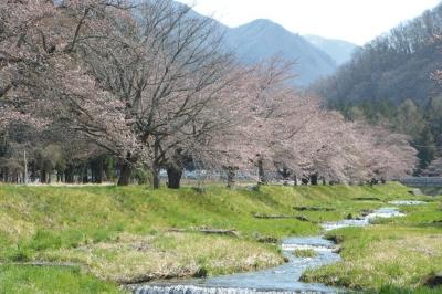 kannonji-sakura109.jpg