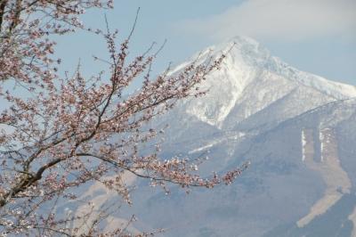 kannonji-sakura111.jpg
