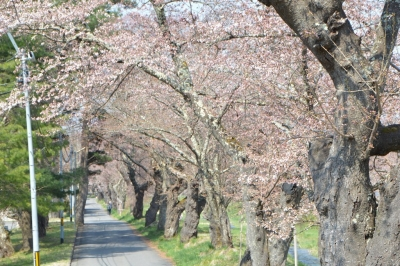 kannonji-sakura113.jpg