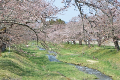 kannonji-sakura114.jpg